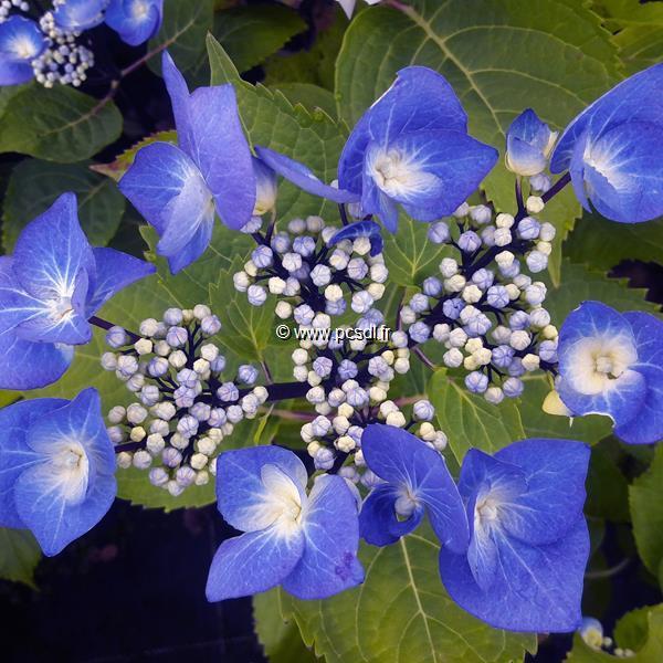 Hydrangea macrophylla \'Zorro\' ® C4L 20/40