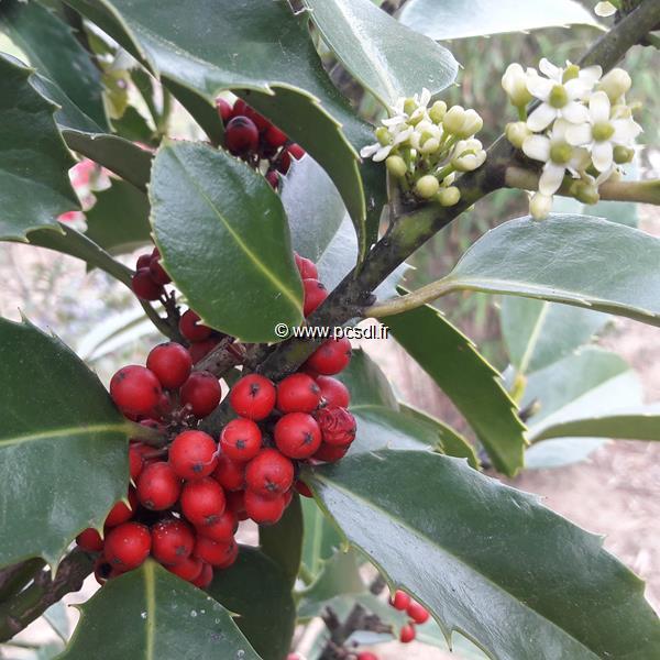 Ilex x koeheana \'Chestnut Leaf\'