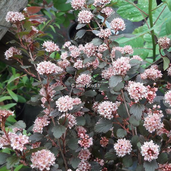 Physocarpus opulifolius \'Little Joker\' ® C4L 40/60