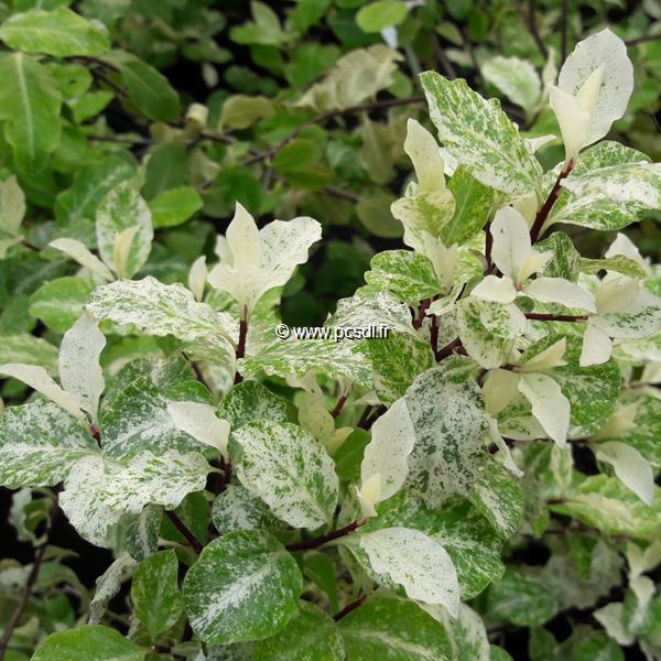 Pittosporum tenuifolium \'Irène Paterson\' C4L 40/50