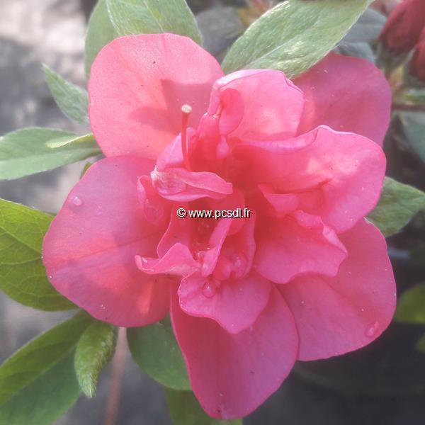 Rhododendron (azalée persistante) \'Christina\'