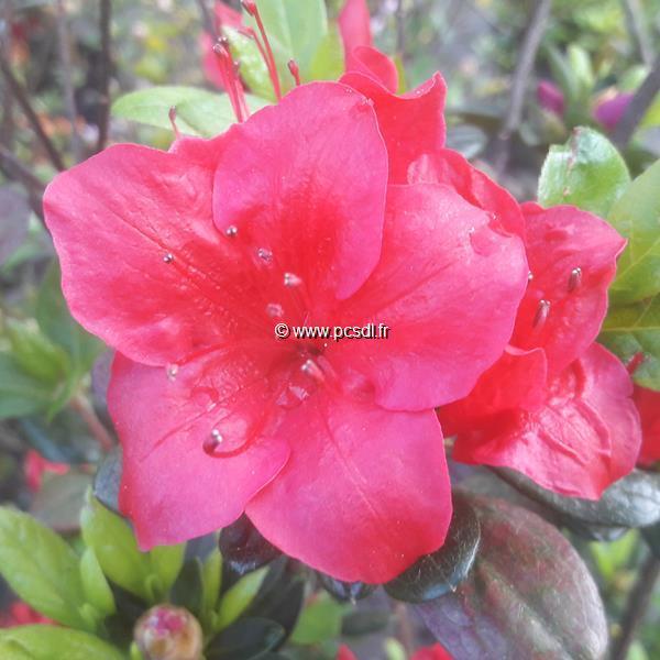 Rhododendron (azalée persistante) \'Johanna\' C30L 60/80