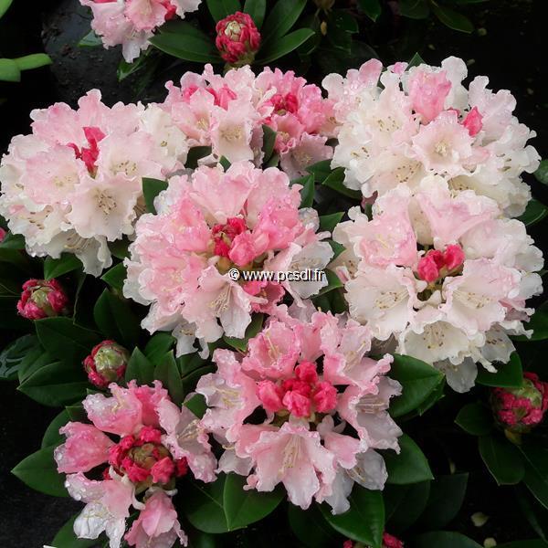 Rhododendron x yakushimanum \'Dreamland\' C4L 30/40
