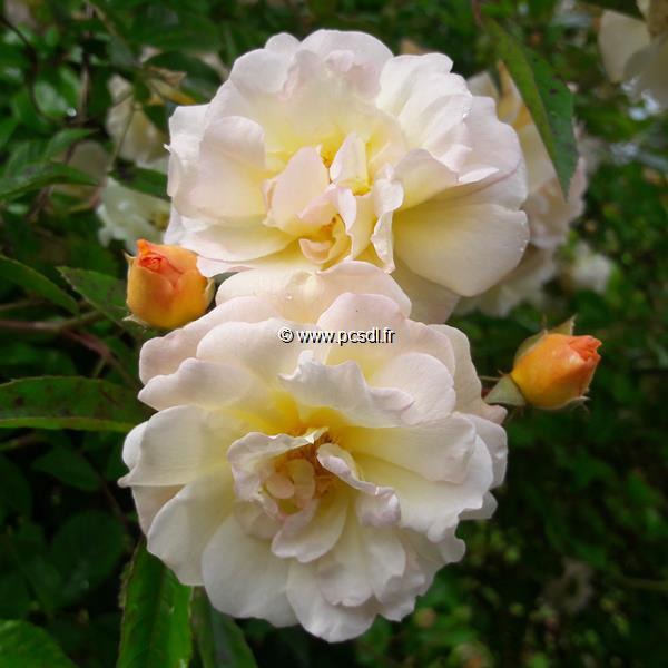 Rosa \'Ghislaine de Féligonde\' C3L 40/60