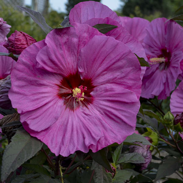 Hibiscus x moscheutos \'Berry Awesome\' ® C3L
