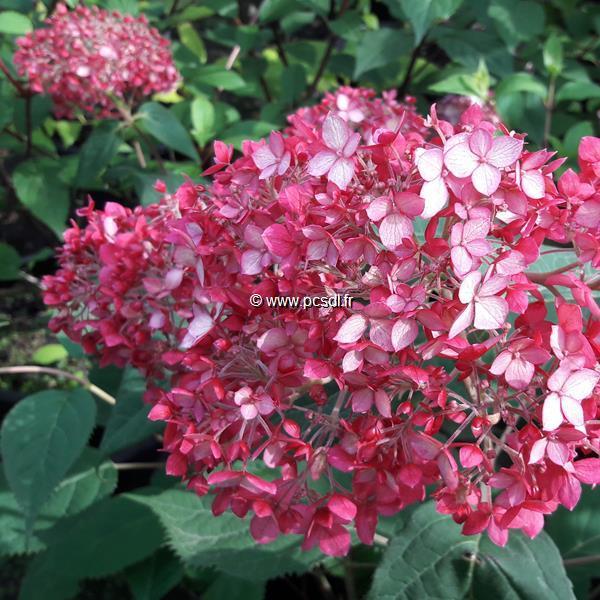 Hydrangea arborescens \'Ruby Annabelle\' ® C3L 30/40