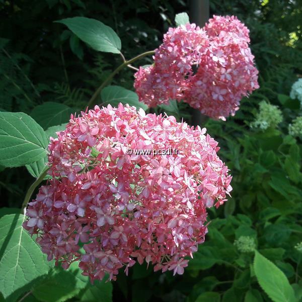 Hydrangea arborescens \'Invincibelle\' ® C4L 40/60