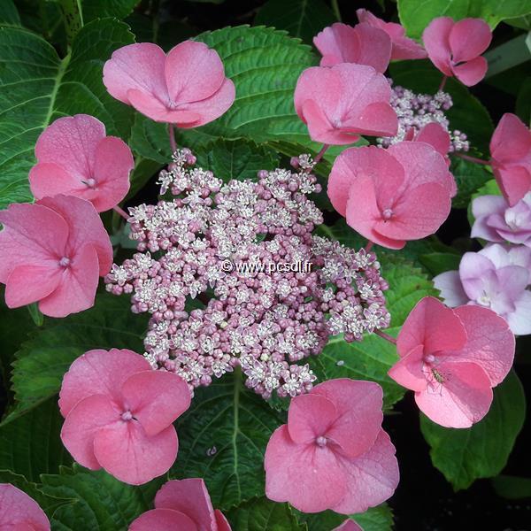 Hydrangea macrophylla \'Gimpel\' C4L 20/40
