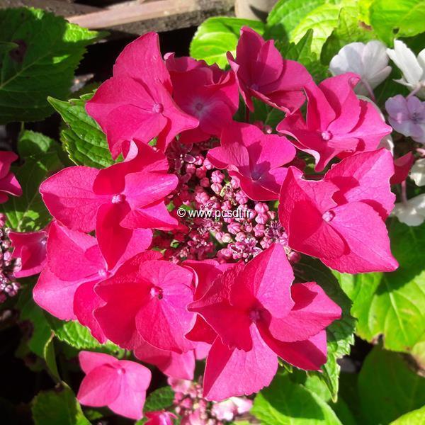 Hydrangea macrophylla \'Kardinal\' C4L 20/40