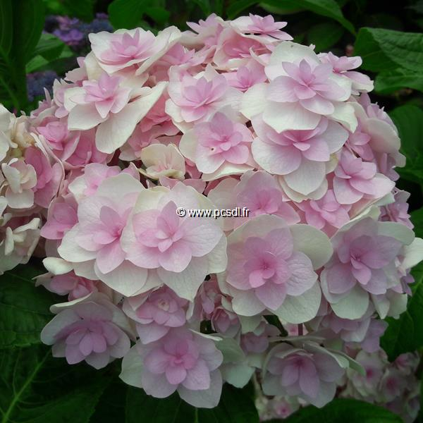 Hydrangea macrophylla \'Kazan\' ® C4L 20/40