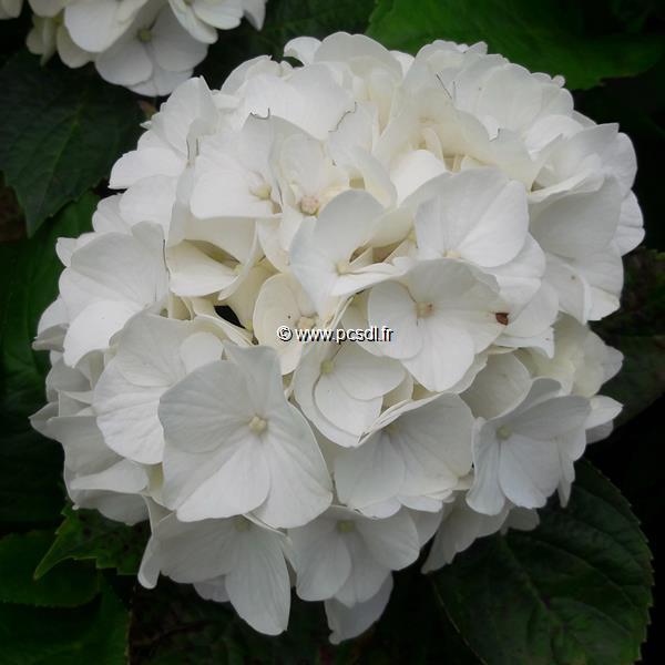 Hydrangea macrophylla \'Pearl\' C4L 20/40