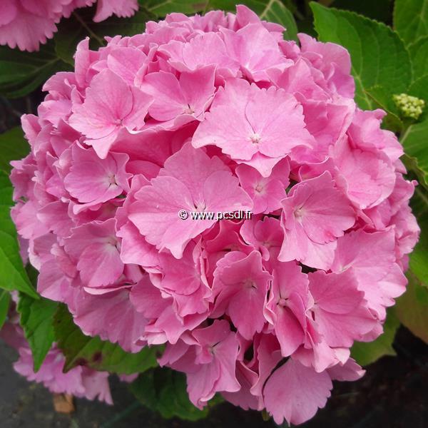 Hydrangea macrophylla \'Mme Plumecoq\' C4L 20/40