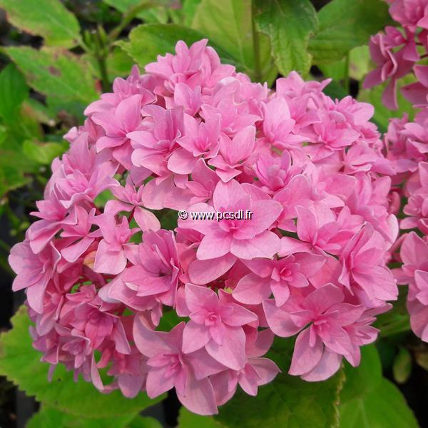 Hydrangea macrophylla (you&me) \'Perfection\' ® C4L 20/40
