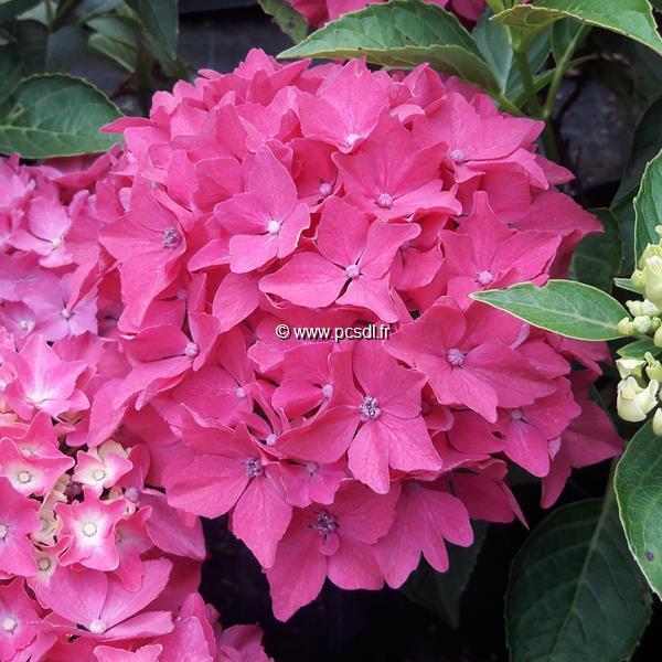 Hydrangea macrophylla \'Pia\' C4L 20/40