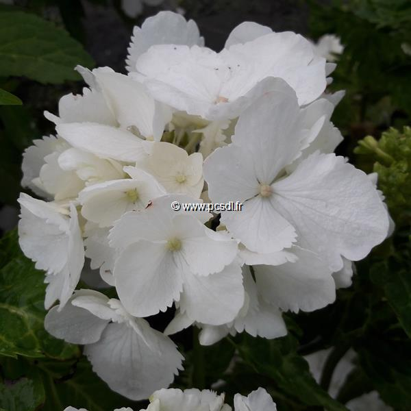 Hydrangea macrophylla \'Pirouette\' C4L 20/40