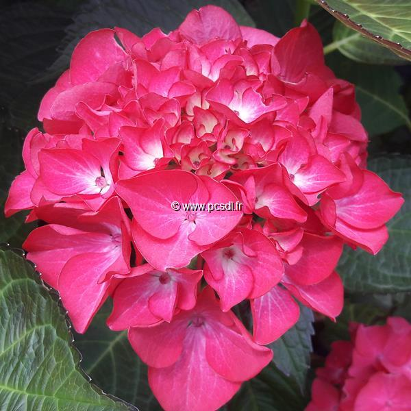 Hydrangea macrophylla (black diamonds) \'Red Angel\' ® C4L 20/40