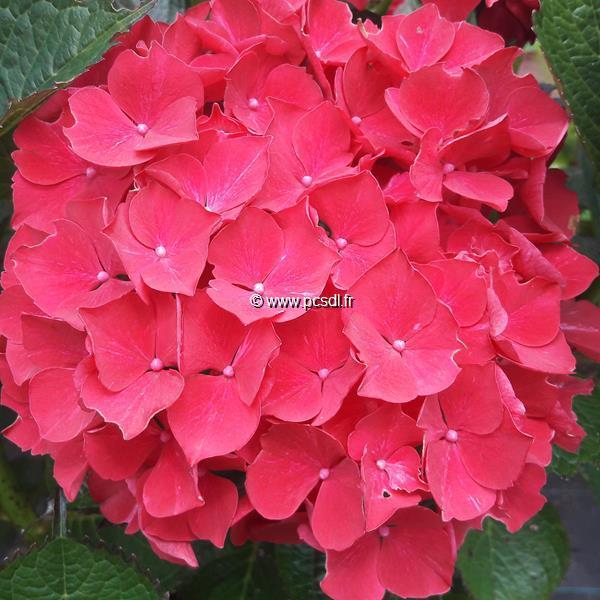 Hydrangea macrophylla \'Ruby Red\' ® C4L 20/40