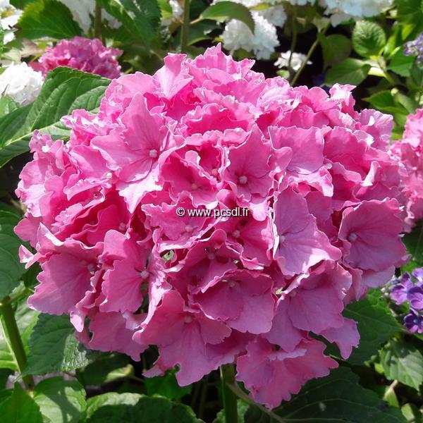Hydrangea macrophylla (beautensia) \'Spike\' ® C4L 20/40
