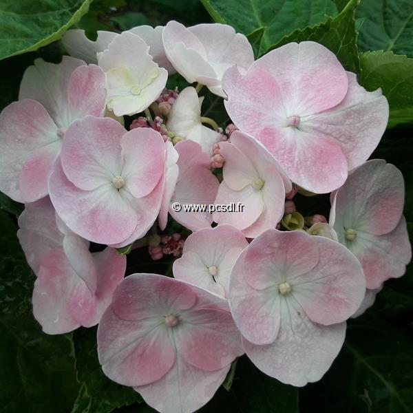 Hydrangea macrophylla \'Sweet Dreams\' ® C4L 20/40