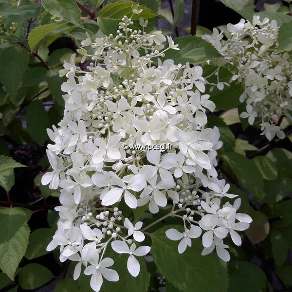 Hydrangea paniculata \'Dentelle de Gorron\' ® C4L 30/40
