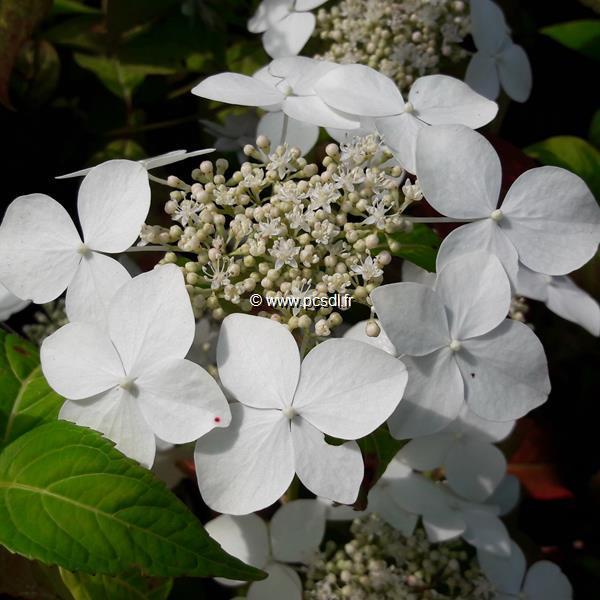Hydrangea serrata angustata C4L 40/60