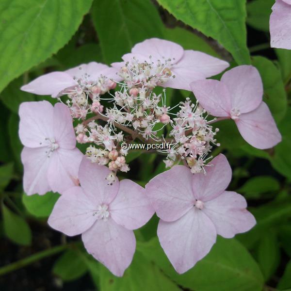 Hydrangea serrata \'Diadem\' C4L 20/40