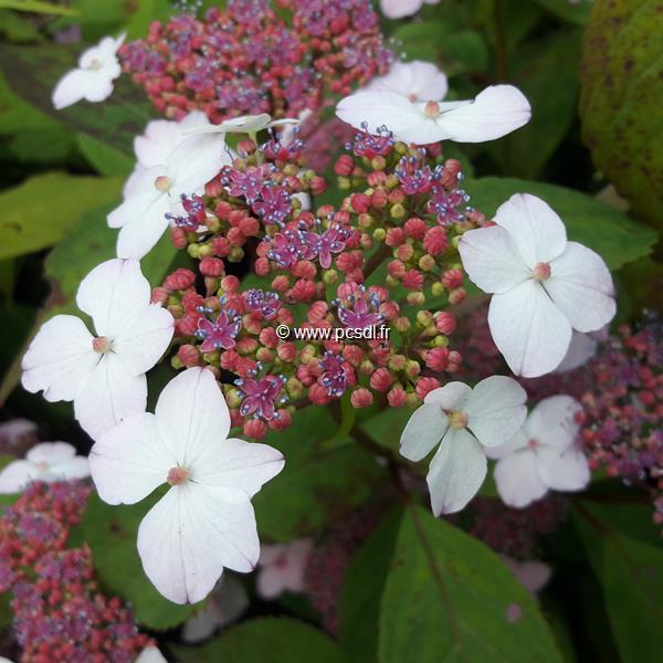 Hydrangea serrata \'Oamacha\' C4L 20/40