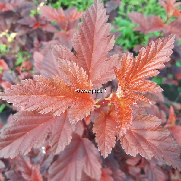 Physocarpus opulifolius \'Little Angel\' ® C4L 40/50