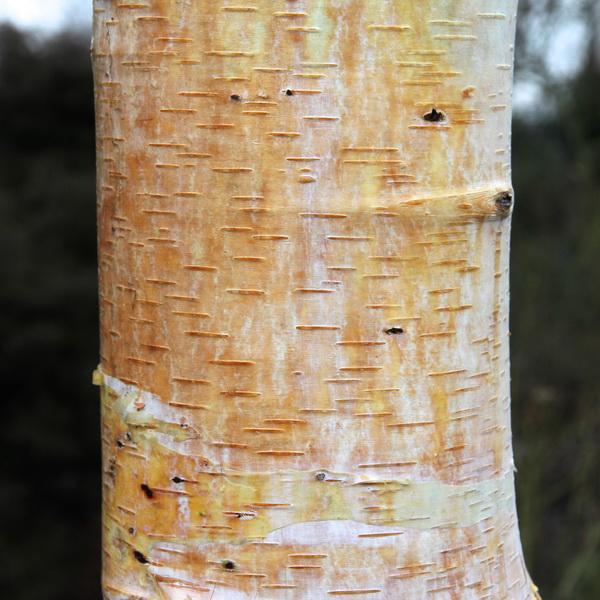 Betula albosinensis var. septentrionalis C4L 150/175