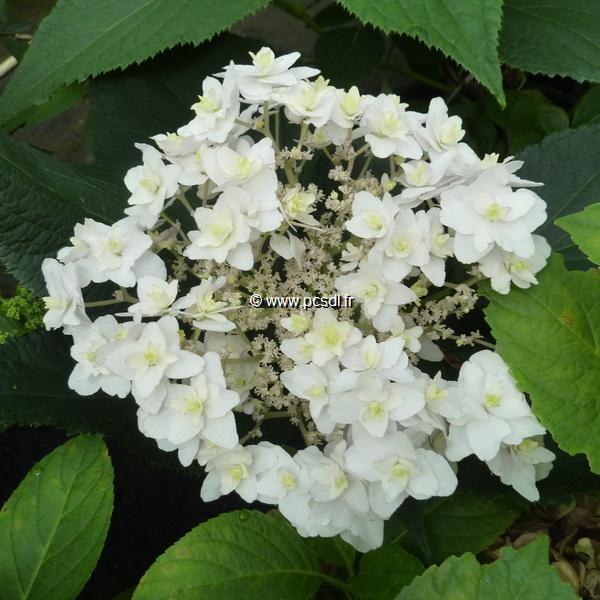 Hydrangea involucrata 'Mihara-kokonoe' C3L 30/40