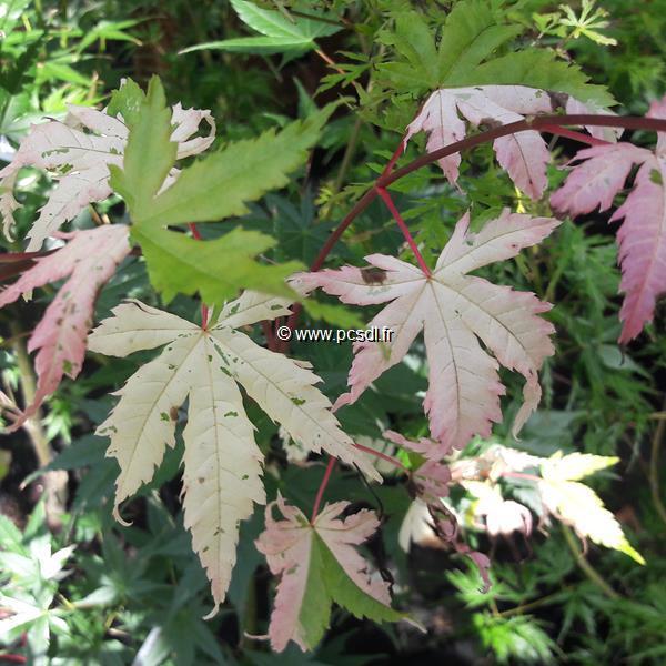Acer palmatum Asahi Zuru (1)