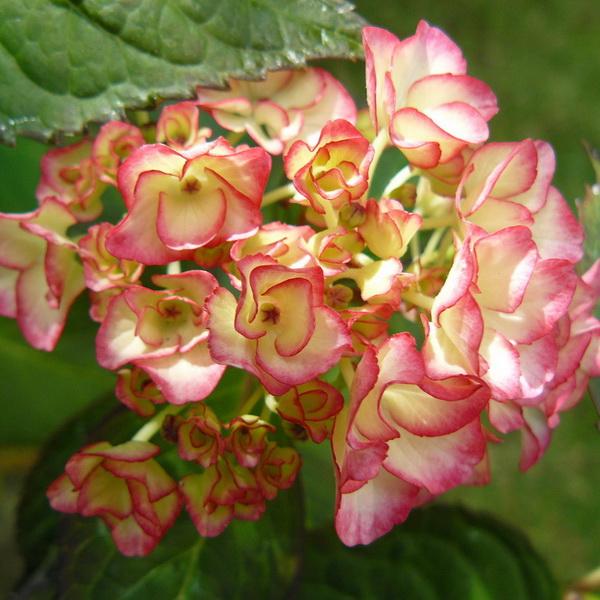 Hydrangea macrophylla (dutch lady) \'Sabrina\' ® C4L 20/40