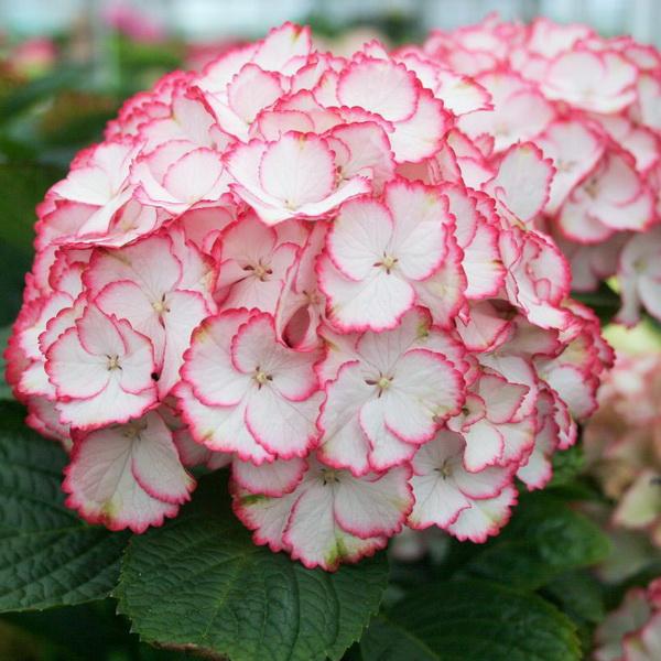 Hydrangea macrophylla (charming) \'Sophia\' ® C4L 20/40