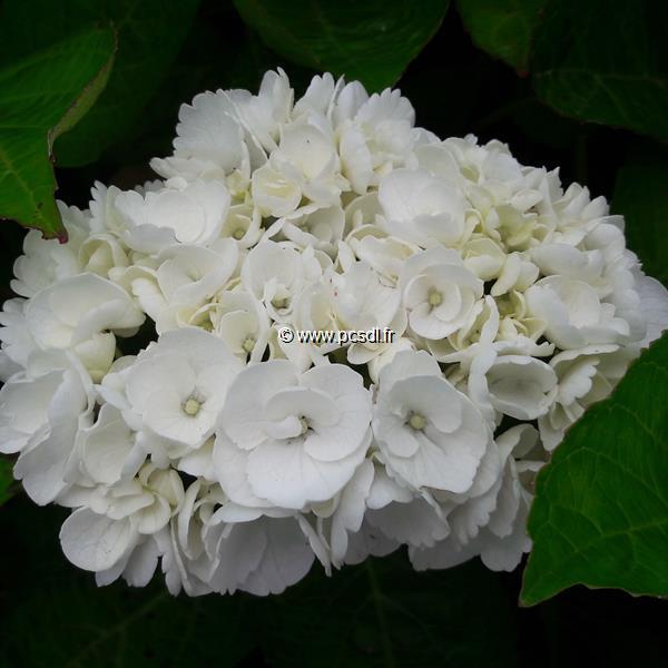Hydrangea macrophylla (rendez-vous) \'Angélique\' ® C4L 20/40