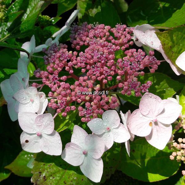 Hydrangea macrophylla \'Cloudy\' C4L 20/40