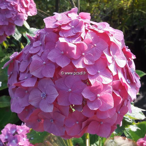 Hydrangea macrophylla \'Deutschland\' C4L 20/40