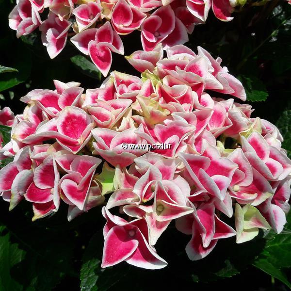 Hydrangea macrophylla \'Frau Noriko\' C4L 20/40