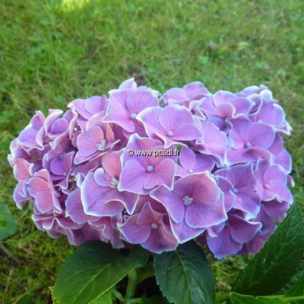 Hydrangea macrophylla \'Tivoli\' ® C4L 20/40