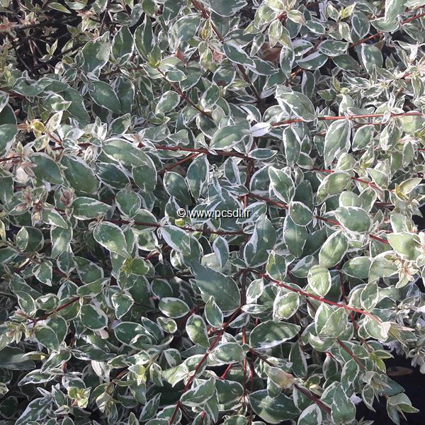 Abelia x grandiflora \'Stereden\' ® C4L 30/40