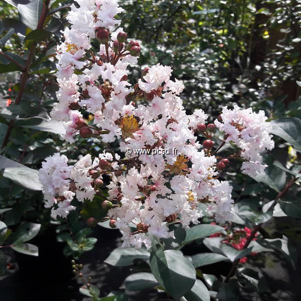 Lagerstroemia indica \'Rhapsody in Pink\' ® C4L 40/60