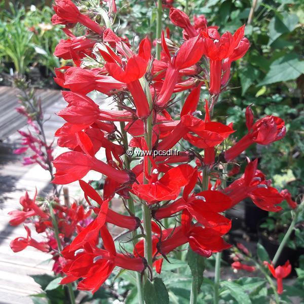 Lobelia cardinalis \'Queen Victoria\' C3L