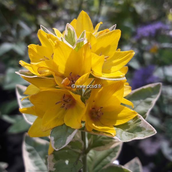 Lysimachia punctata \'Alexander\' C3L