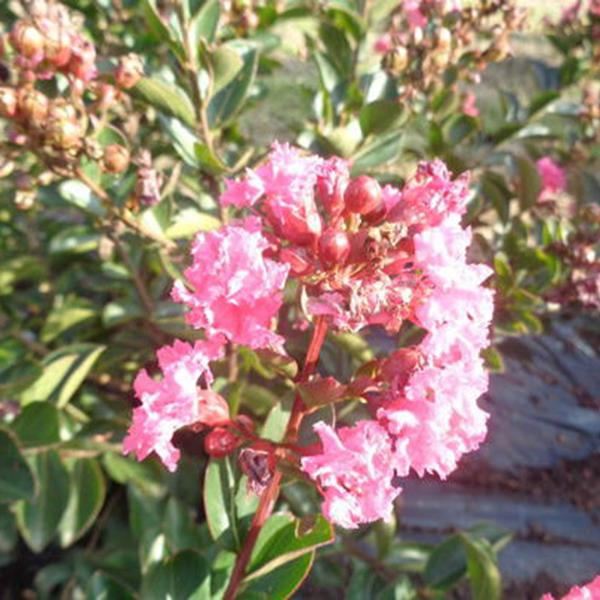Lagerstroemia indica \'Pink All the Best\' ® C4L 40/60