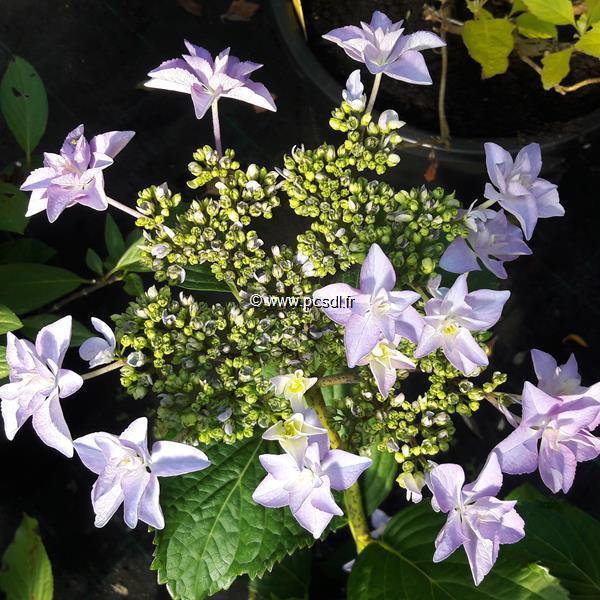 Hydrangea macrophylla \'Doppio Azzuro\' ® C4L 20/40