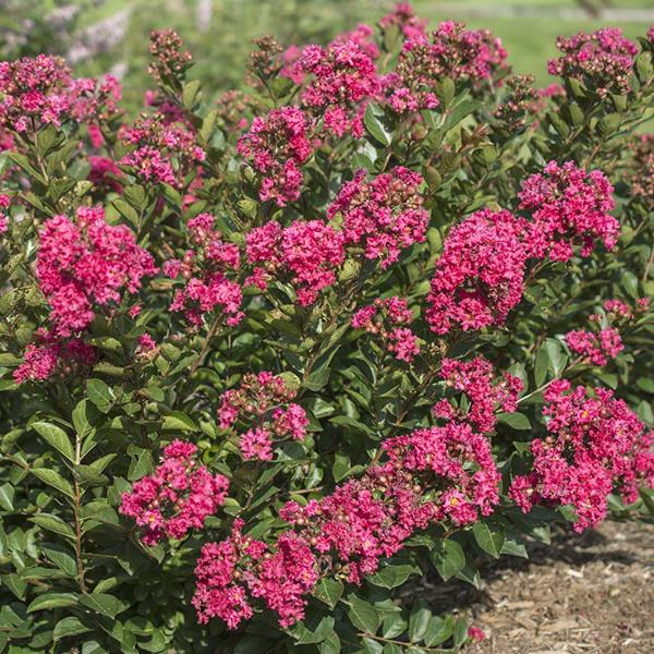 Lagerstroemia indica Raspberry All the Best