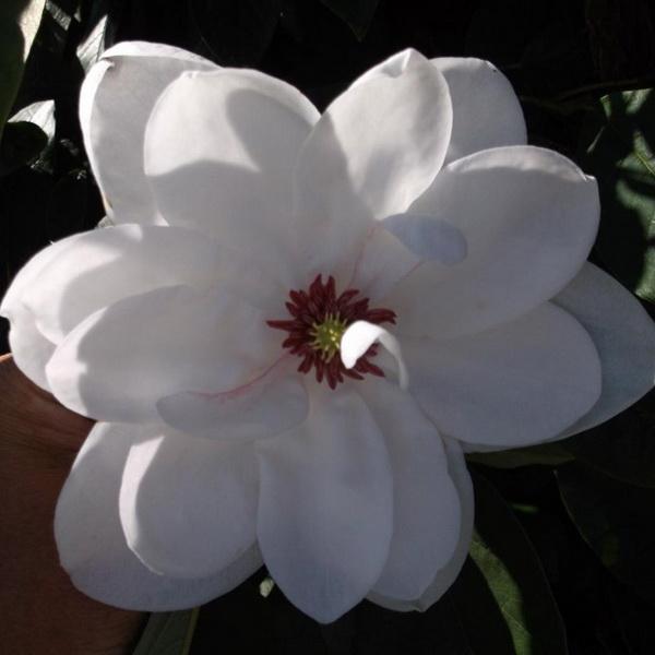 Magnolia wilsonii \'Eileen Baines\' C4L 40/60