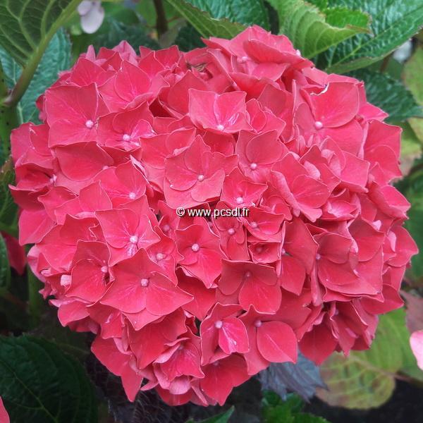Hydrangea macrophylla \'Julisa\' ® C4L 20/40