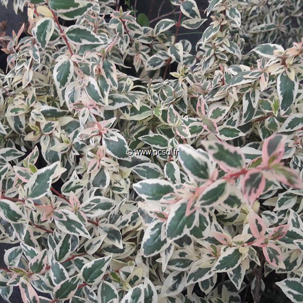 Abelia x grandiflora \'Pink Lady\' ® C4L 10/20