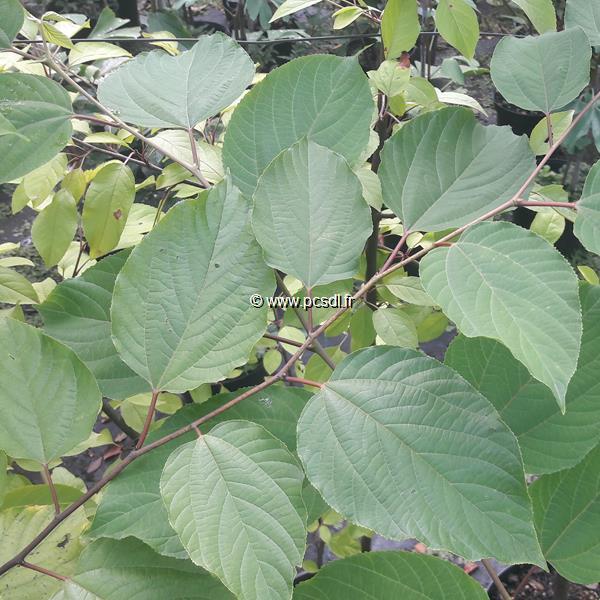 Hovenia dulcis C4L 100/125