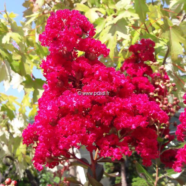 Lagerstroemia indica \'Fuchsia d\'Eté\' ® C15L tige d\'1m